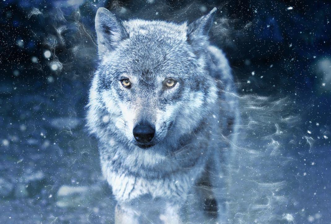 """NESVAKIDAŠNJI SUSRET Čovjek iz Dalmacije susreo vuka: """"Budite oprezni, nikada ne znate što se može dogoditi"""""""